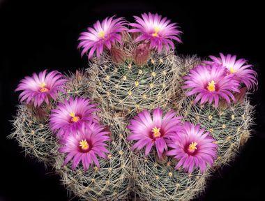 Pin On Mammillaria