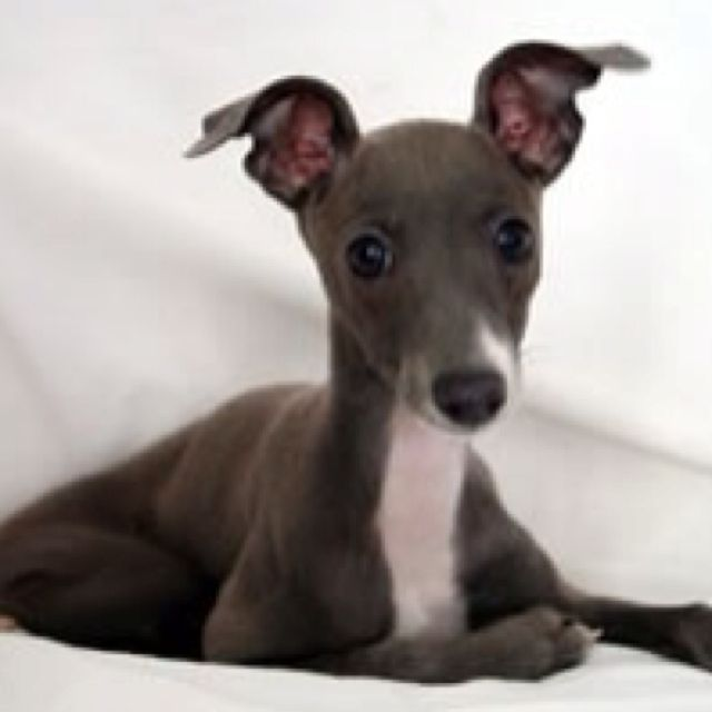 The First Dog I Buy Myself Will Be An Italian Greyhound They Are Super Cuddly Future Puppy Italian Greyhound Puppies Italian Greyhound Dogs