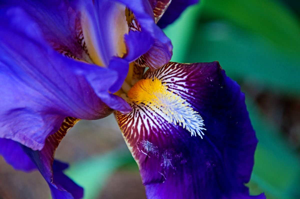 All the colors of the iris flower purple iris blooms and double all the colors of the iris flower purple iris blooms and double knockout roses today izmirmasajfo Images