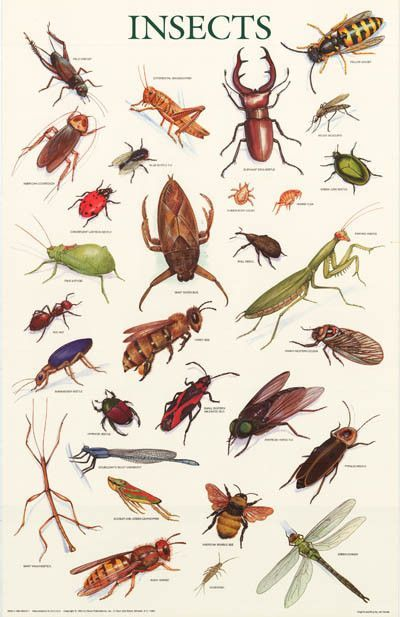Insects Education Poster 21x33 Insects