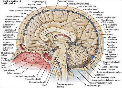 Brain Mri Anatomy Human Anatomy Organs Left Side Human Anatomy