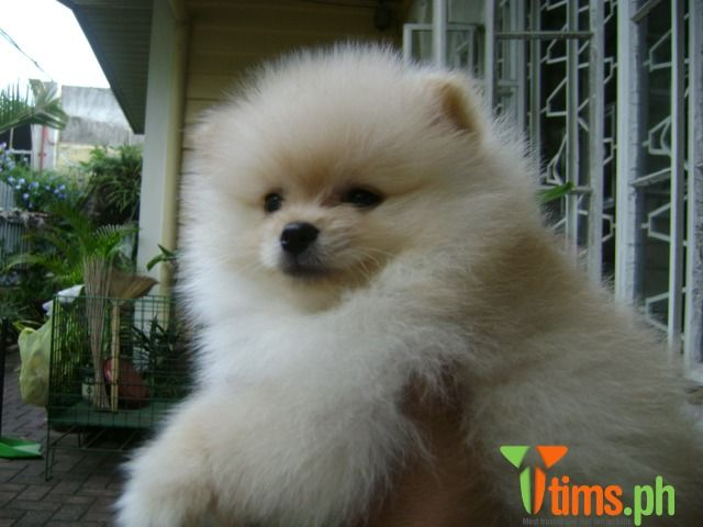 Stud Service Pomeranian Grandson Of Phil Hall Of Fame Pak Dome Thai Import Caloocan Animals Baby Animals Pets For Sale