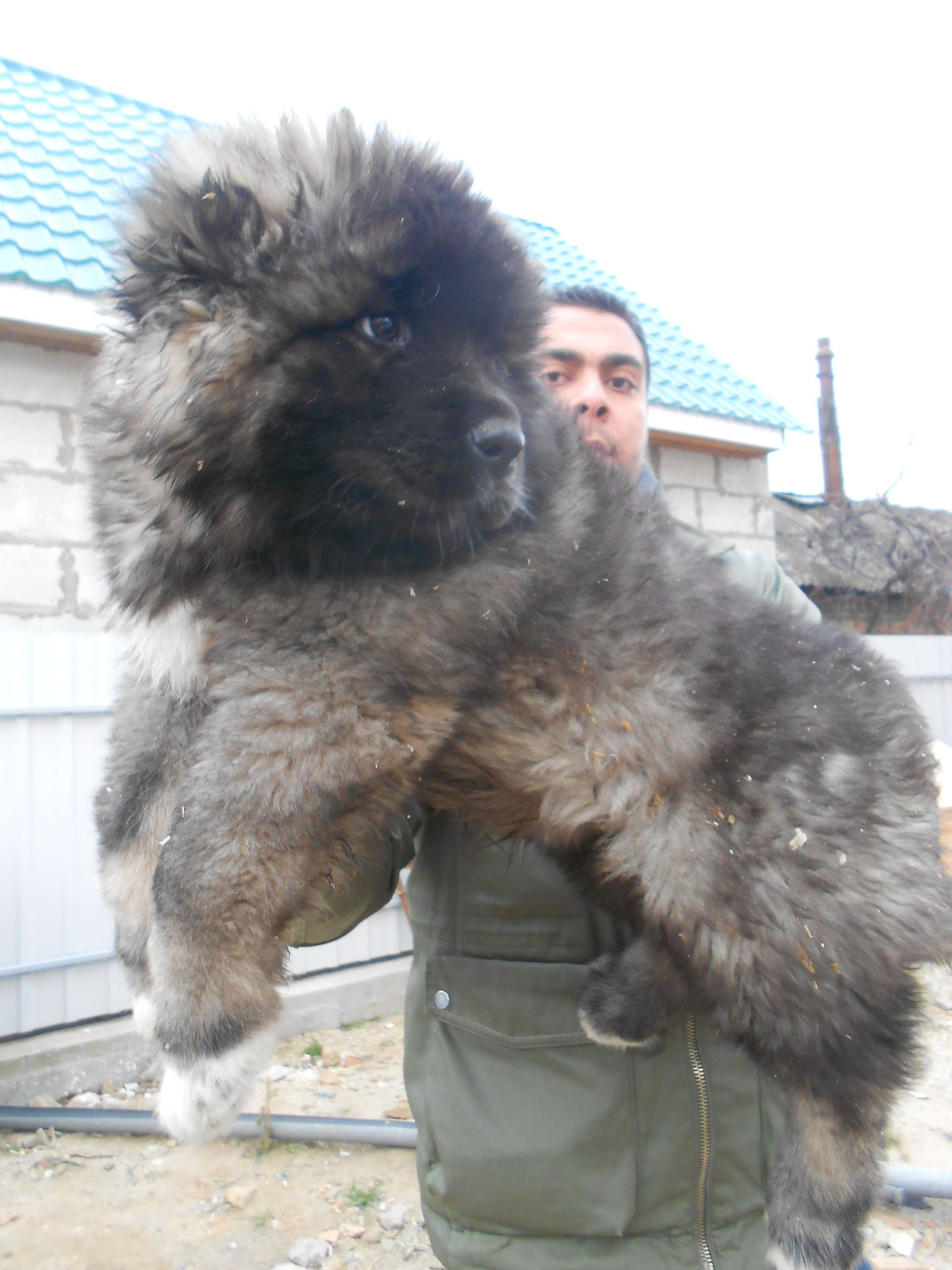 This Is A Caucasian Shepherd Puppy They Were