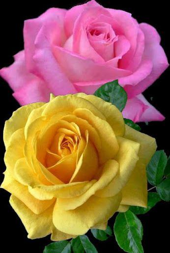Flores E Frases Flores Rosas Y Rosas Púrpuras