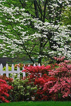 flowering dogwood tree and azaleas