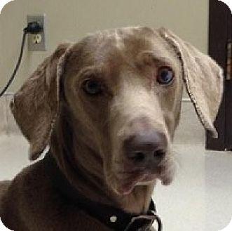Weimaraner Dog For Adoption In Birmingham Alabama Oscar Rescue