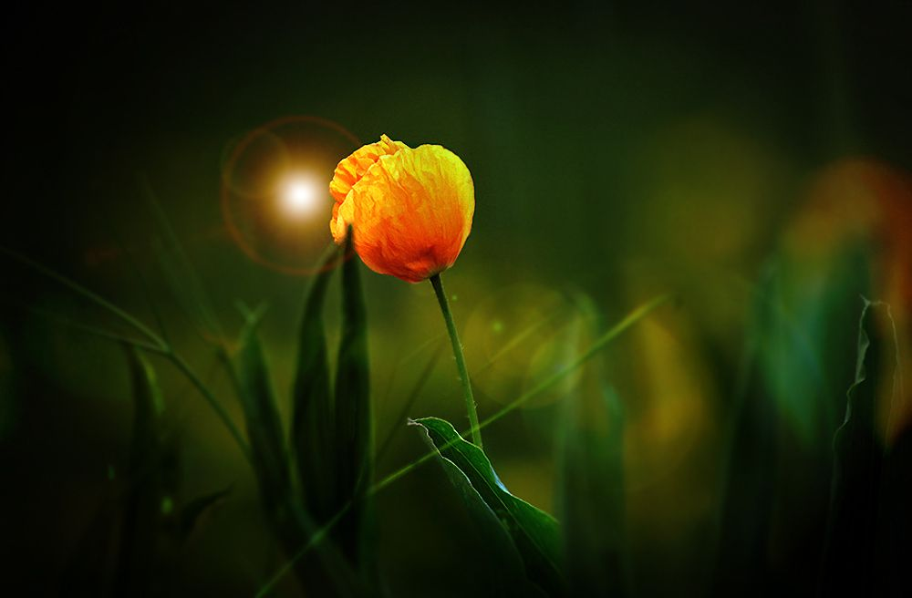poppy by Mathias Ahrens on 500px