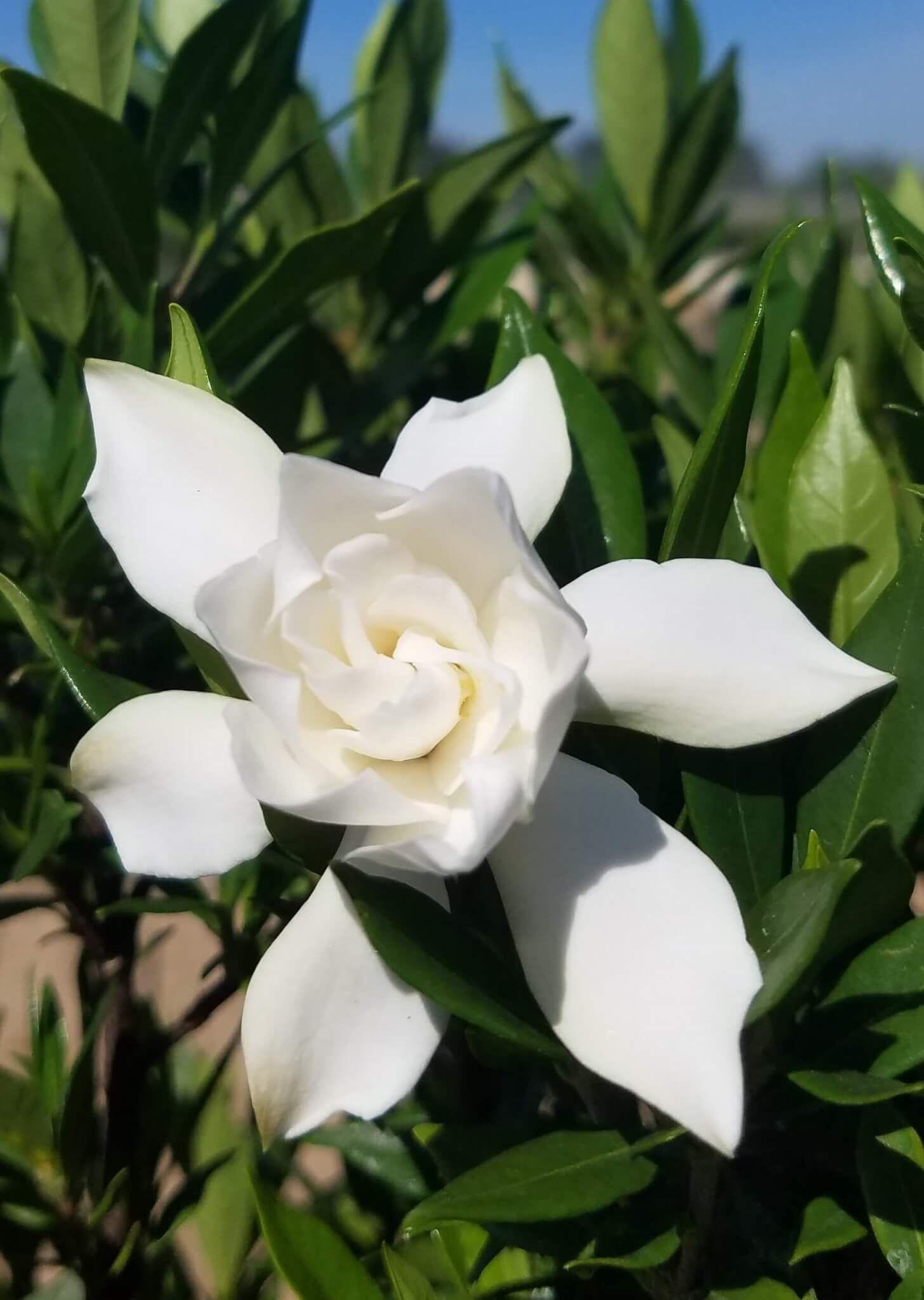 Pin On Gardenia Plant