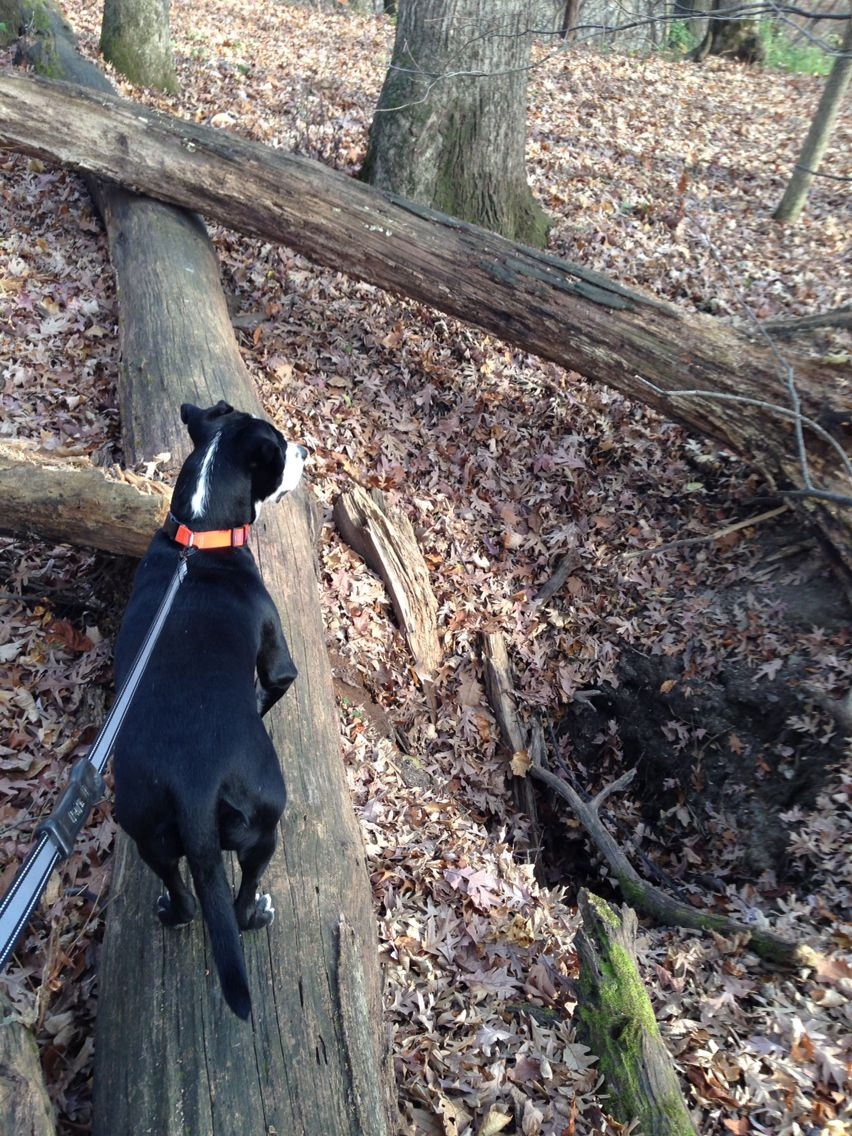 Another mine or pit Nature preserve, Boston terrier, Terrier