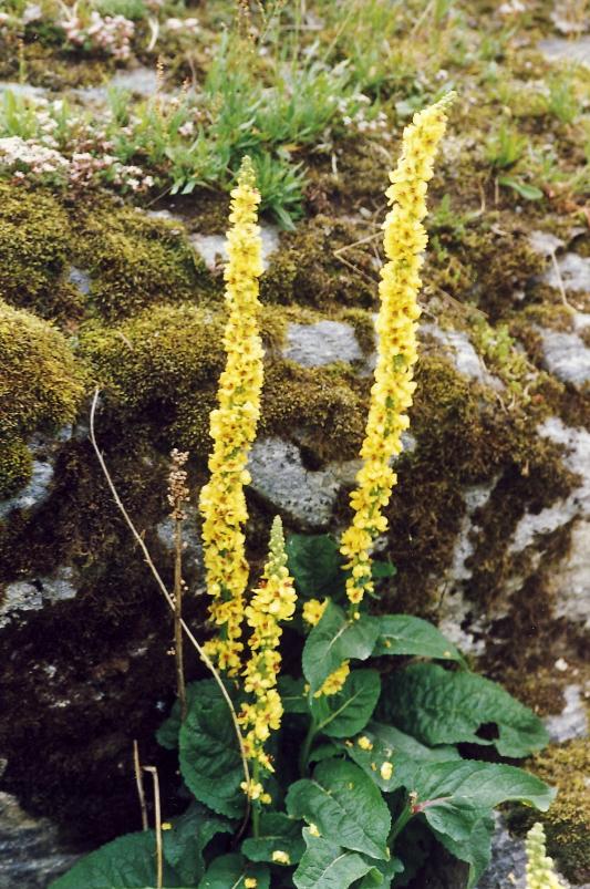 Gelbe Kerzenpflanze, Foto: S. Kretschmer