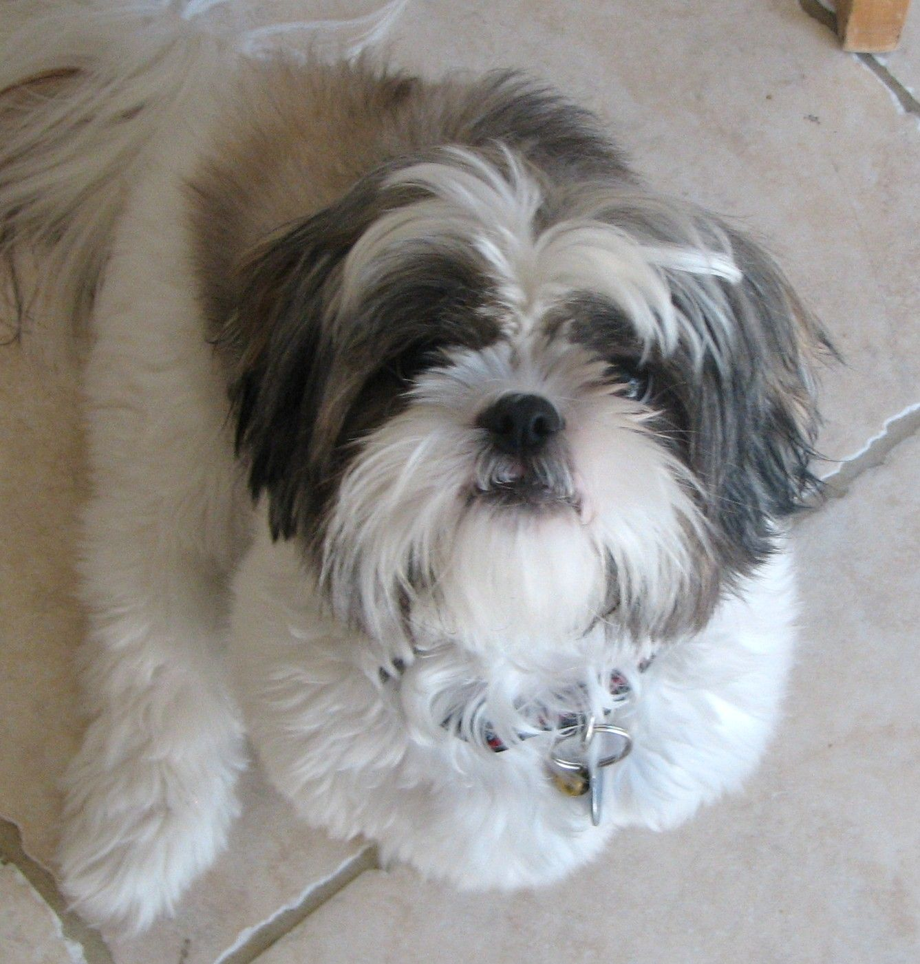 Black And White Shih Tzu Dogs Dog Vs Lego Shih Tzu Shih Tzu