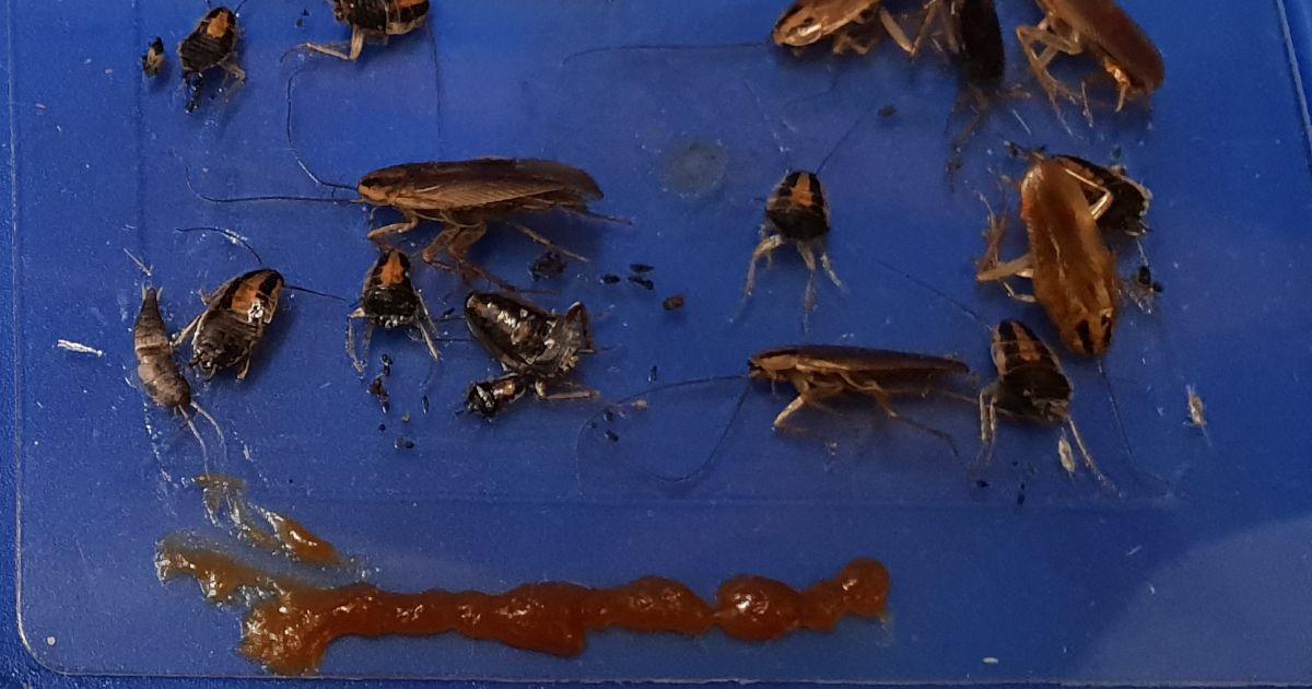 Schaben In Der Klebefalle Schadlingsbekampfung Schaben Schaben Bekampfen