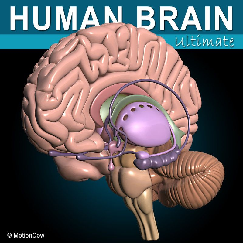 3D Other human brain anatomy with high quality  3d brain