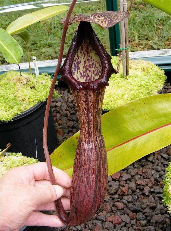 N Boschiana C0072 Flora Nepenthaceae Carnivorous Plants Cool Plants Weird Plants