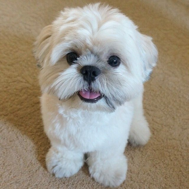 Top 10 Cutest Shih Tzus On Instagram Shih Tzu Puppy Shih Tzu