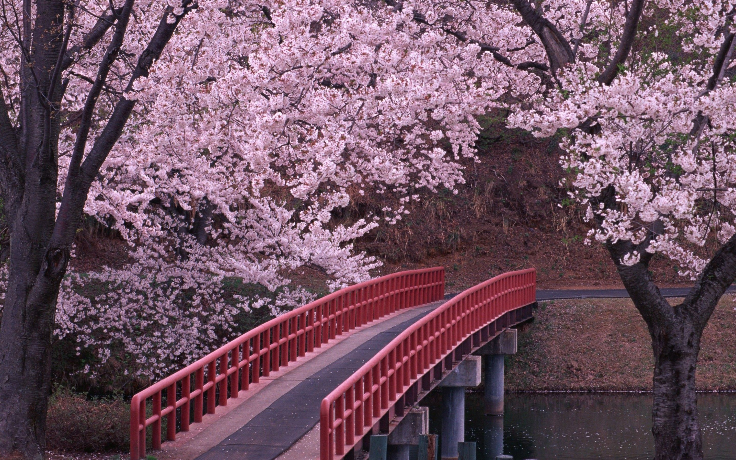landscapes cherry blossoms flowers bridges fresh new hd wallpaper - Japanese Garden Cherry Blossom Bridge