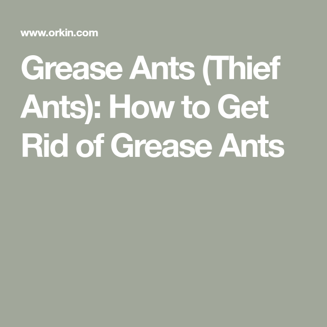 Grease Ants Thief Ants How To Get Rid Of Grease Ants Grease Ants How To Get Rid