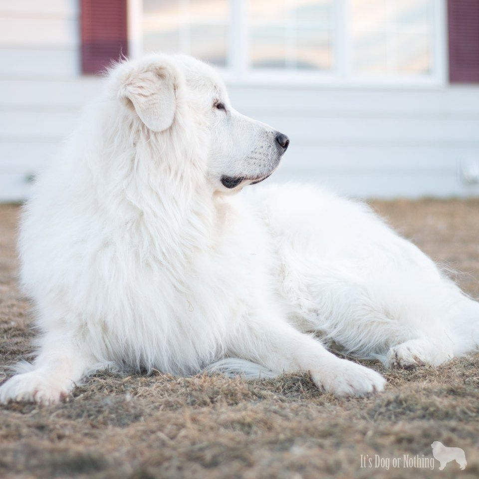 Great Pyrenees Guarding Great Pyrenees Dog Great Pyrenees