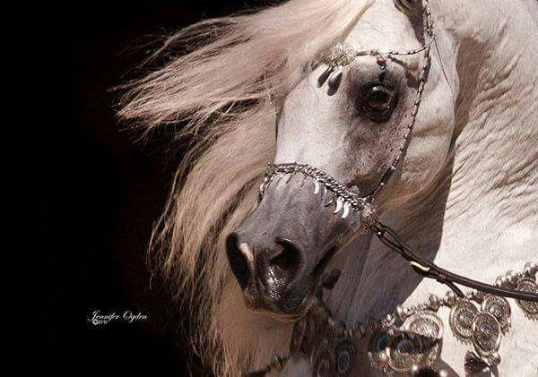 Pin By Migo Eid On Arabian Horses خيول عربية Beautiful Arabian Horses Pretty Horses Arabian Horse