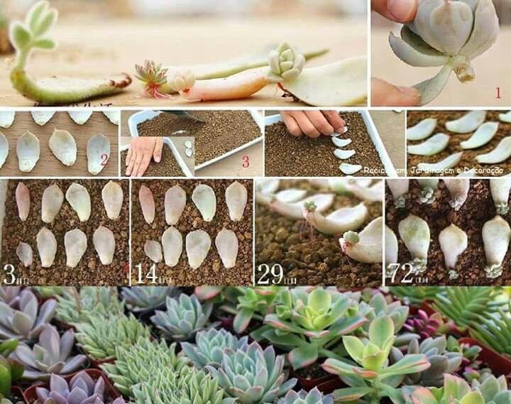 Kövirózsa szaporítása Garden Pinterest Planting, Succulent gardening and Gardens
