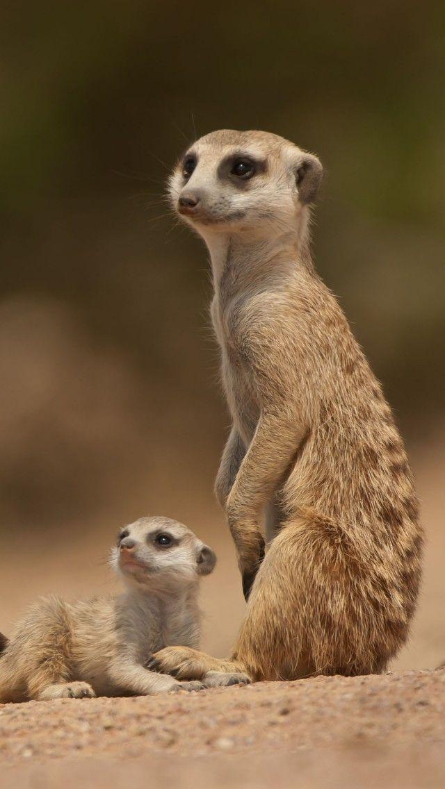 Meerkat Mother With Pup Hd Iphone Wallpapers Animals Wild Animals Beautiful Meerkat