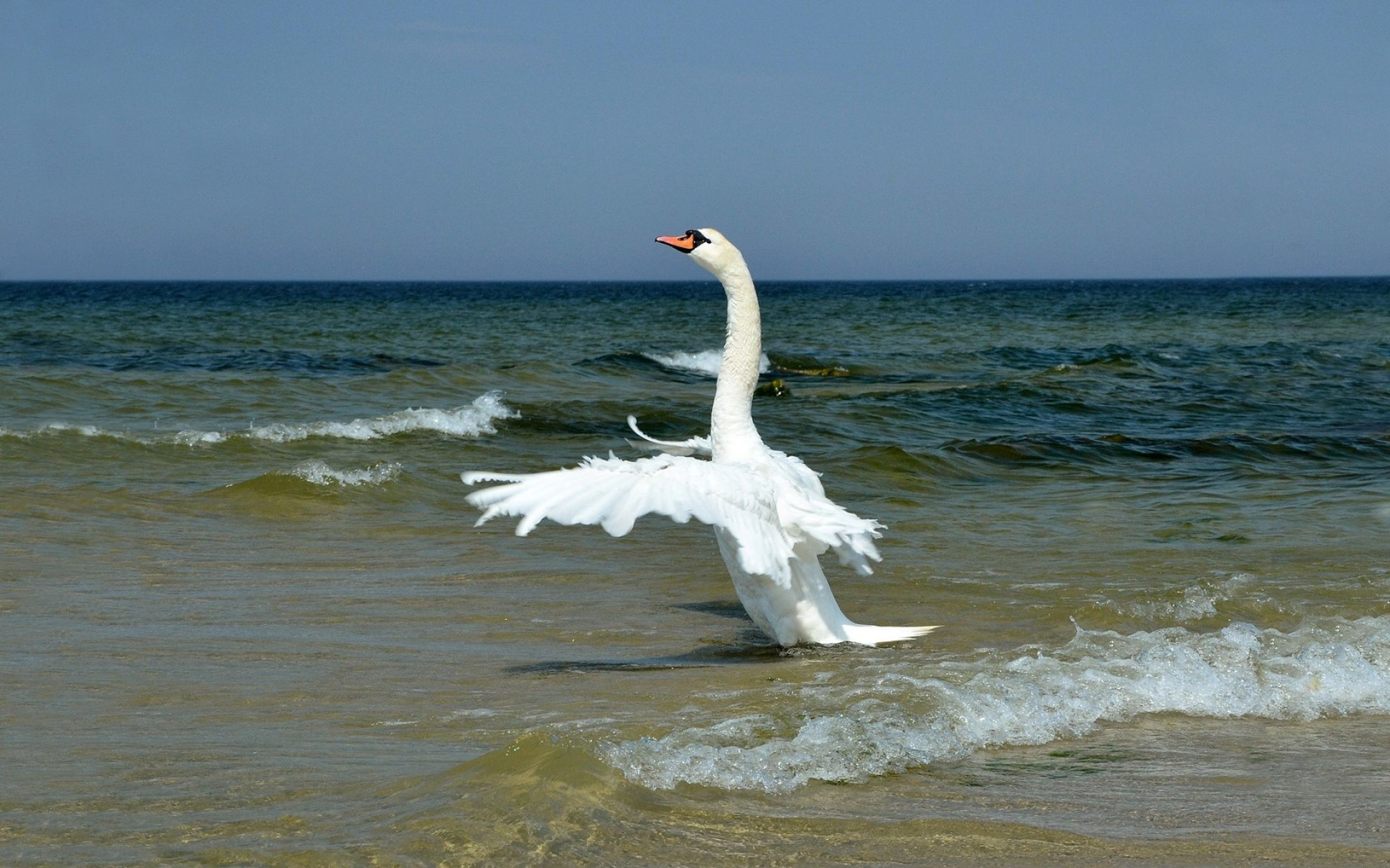 cisne blanco wallpapers - Buscar con Google