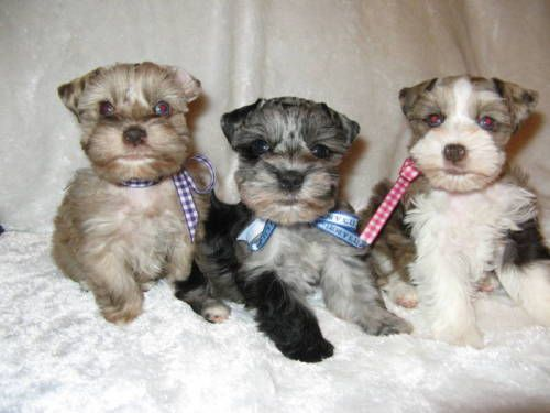 Schnauzer Dogs Amp Puppies For Sale In Houston Ebay Classifieds Schnauzer Puppy Dogs And Puppies Mini Schnauzer Puppies