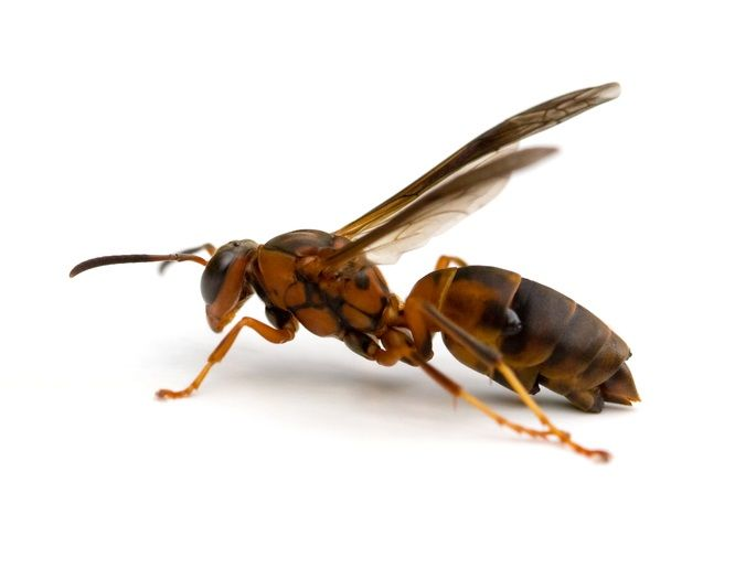 Wasps Flying Around Roof And Downspouts Get Rid Of Wasps Red Wasps Wasp