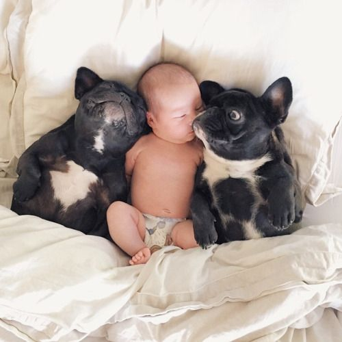 French Bulldogs Protecting A Newborn Baby Frenchies Pinterest