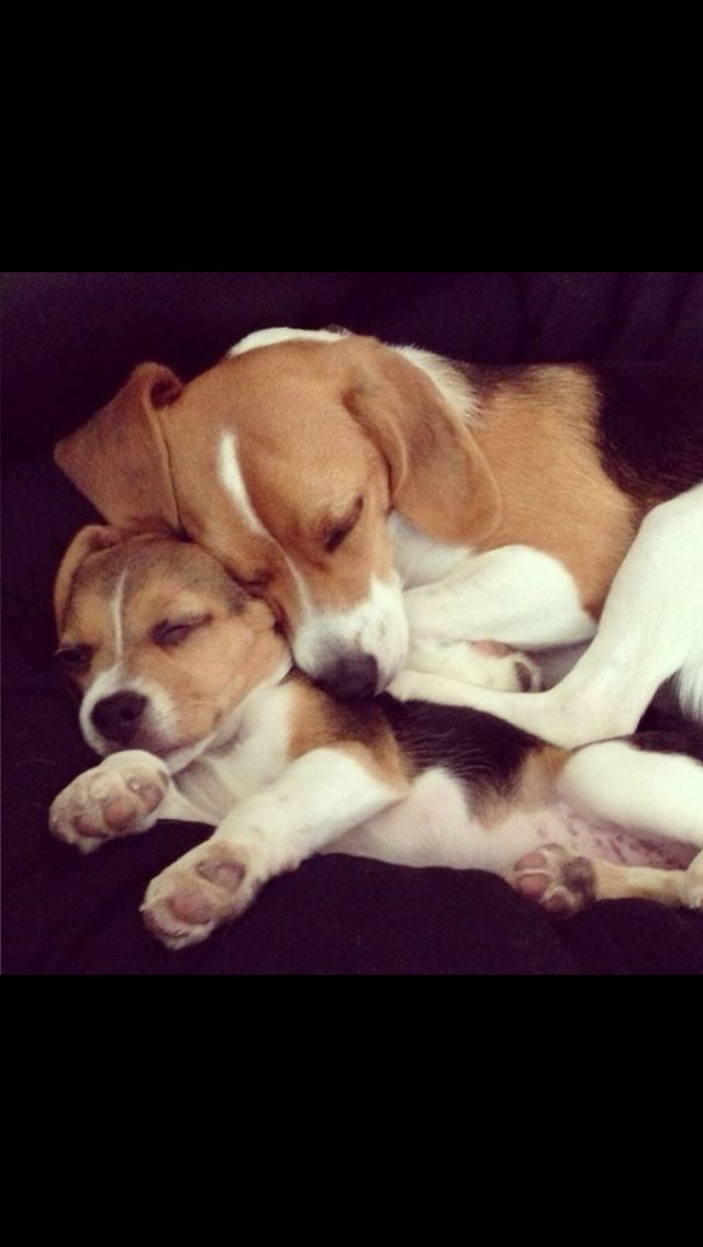 How To Potty Train A Beagle House Training Your Beagle Puppy