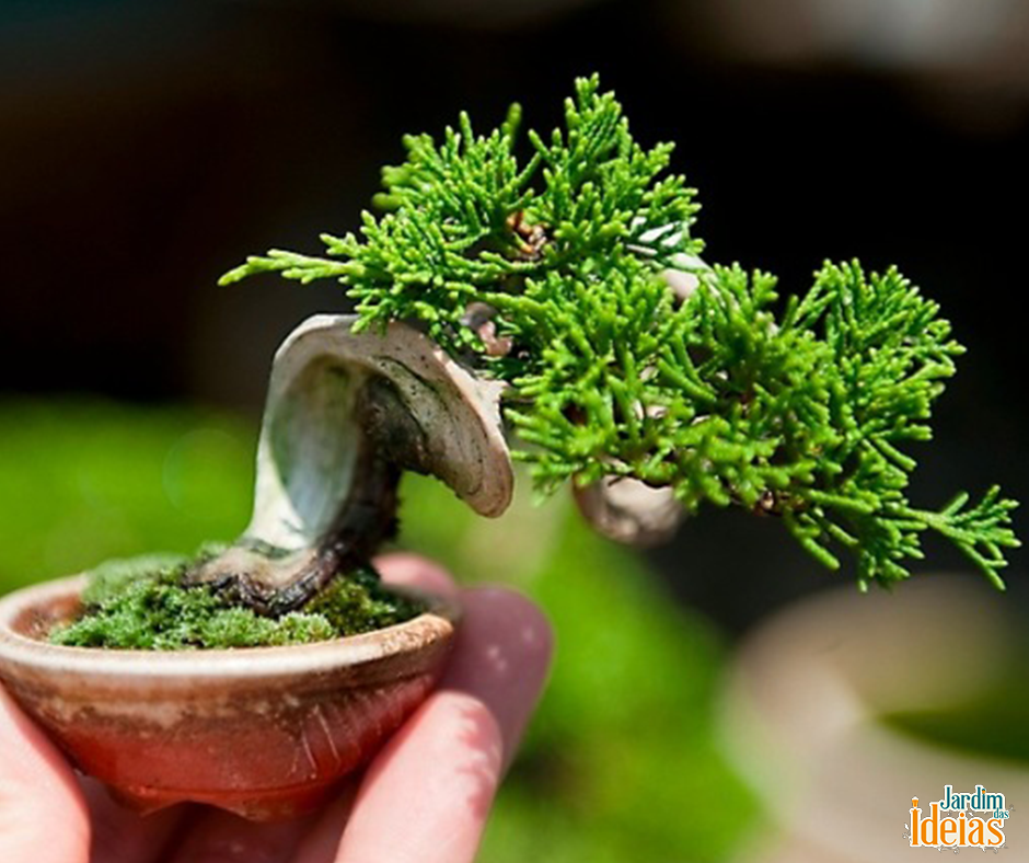 """""""Shonin"""" é a nomenclatura que se dá para bonsais que possuem menos de 25cm de altura. A variedade Junípero, como essa da foto, é maravilhosa. Dá pra acreditar que existe árvore tão pequena?"""