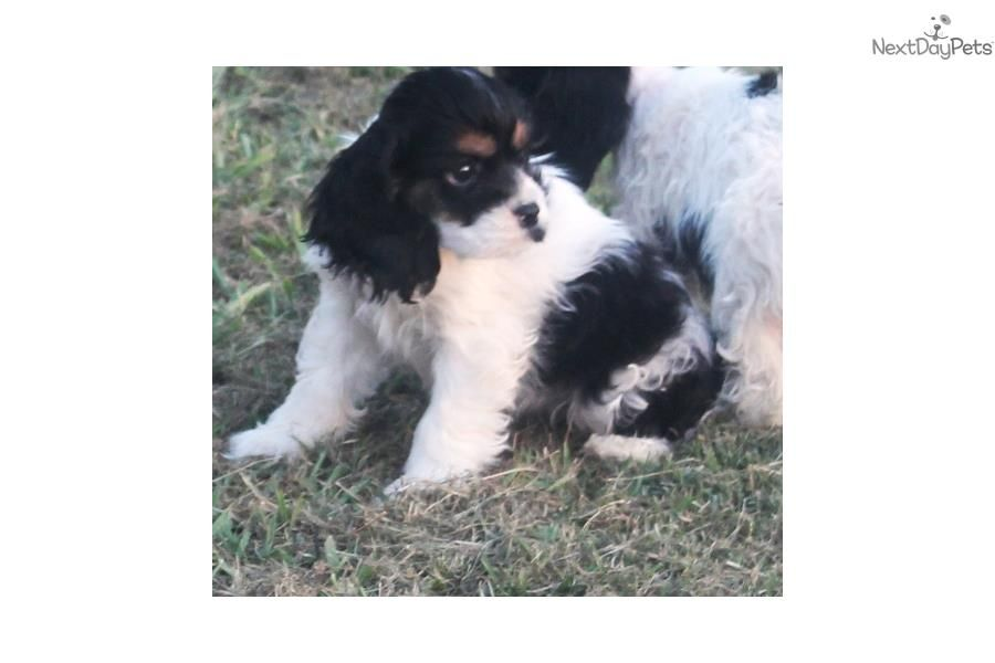 Cocker Spaniel Puppy For Sale Near Dallas Fort Worth Texas