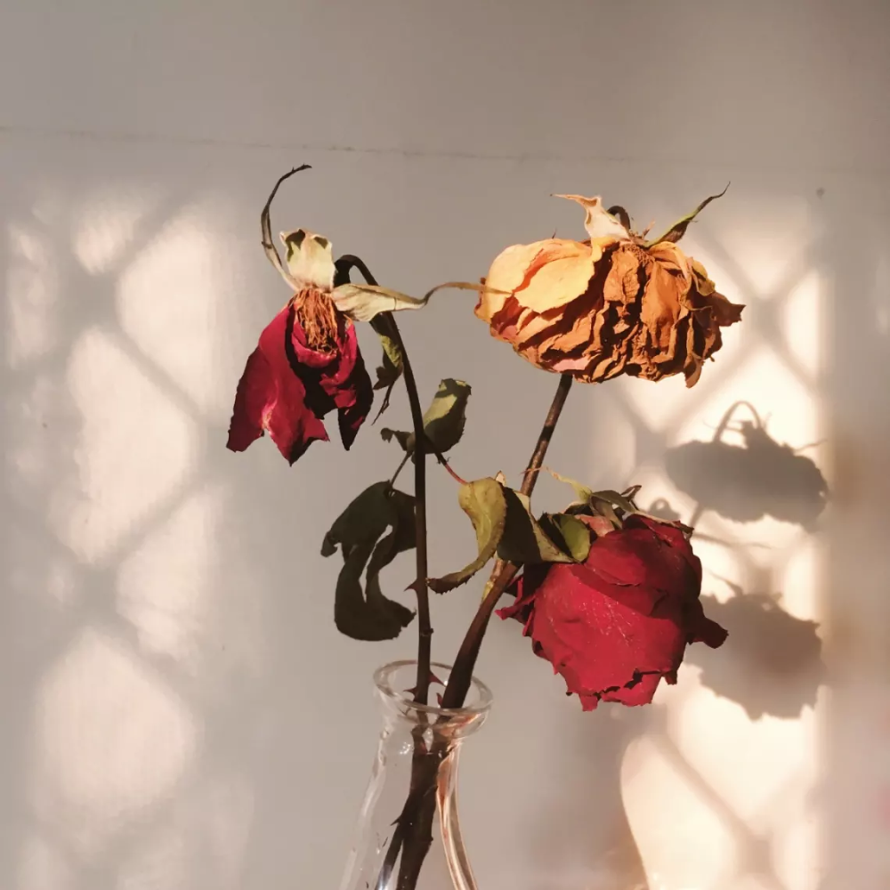 A Wilting Rose | Wilted rose, Flower aesthetic, Dying roses