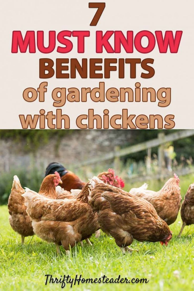 7 Benefits of Gardening with Chickens | Benefits of ...