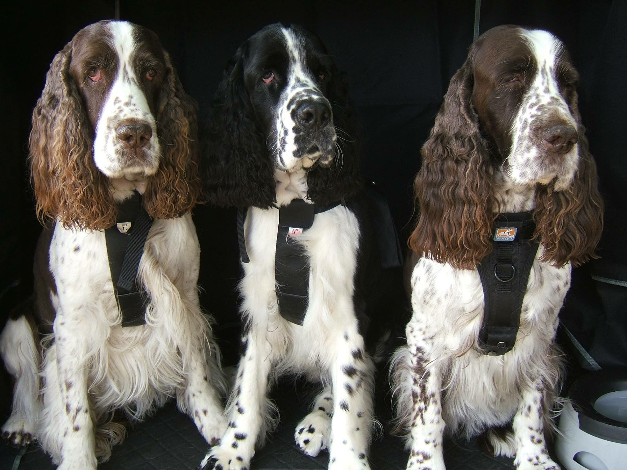 Pin By Judy Borton On Springers Field Spaniel Springer Spaniel English Springer Spaniel