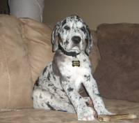Great Dane This Looks Just Like My Kata S Southern Baby Girl