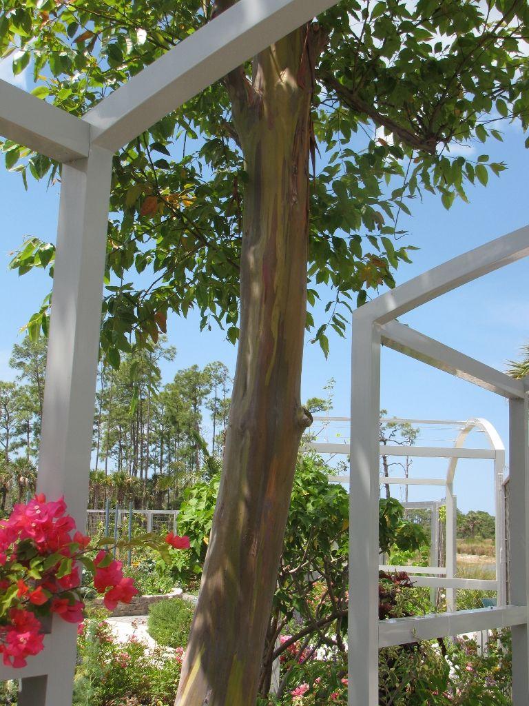 Naples Botanical Garden Fl Rainbow Eucalyptus