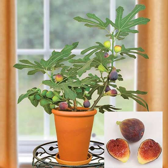 10 sorprendentes plantas para cultivar en maceta | ficus, cultivar