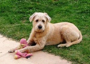 Lola The Giant Schnauzer Mastiff Mix Mastiff Mix Rottweiler Mix