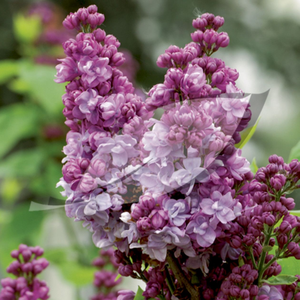 Common lilac syringa vulgaris michel buchner purple - Syringa vulgaris ...