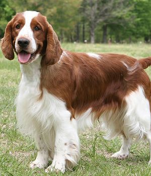 Welsh Springer Spaniel Breed Info Pictures Characteristics Hypoallergenic No Sporting Dogs Breeds Spaniel Breeds Welsh Springer Spaniel