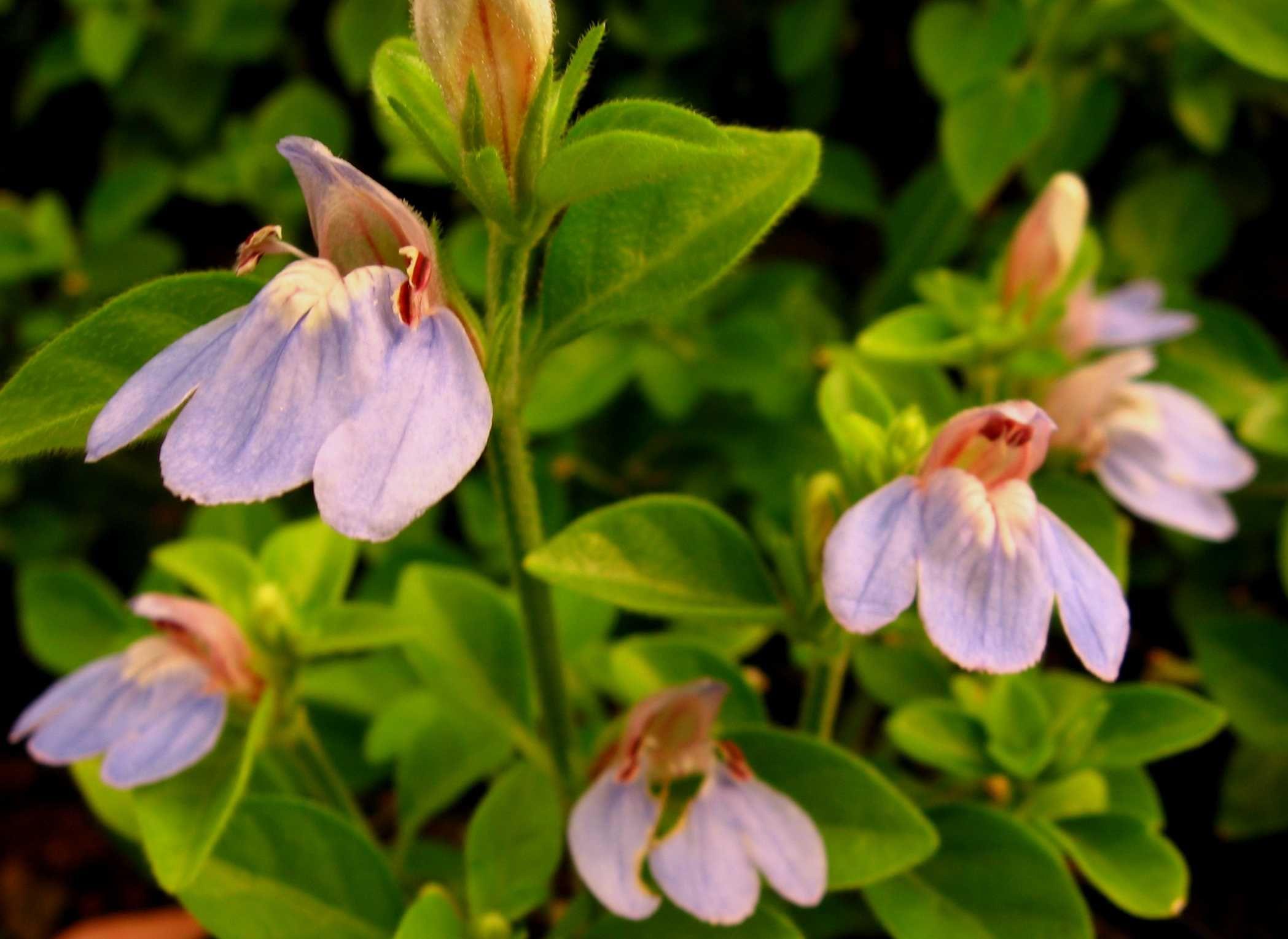 Justicia capensis