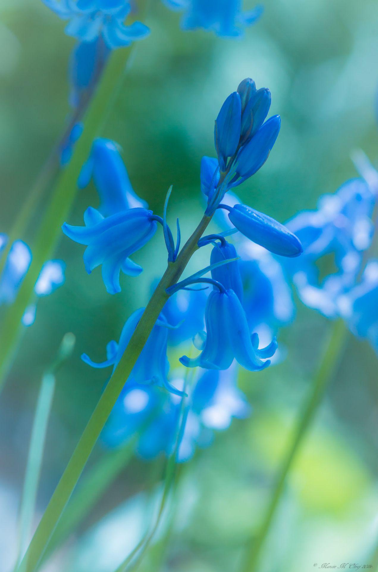 Studioview English Blue Bell By Marcin Okroj Flowers Pinterest