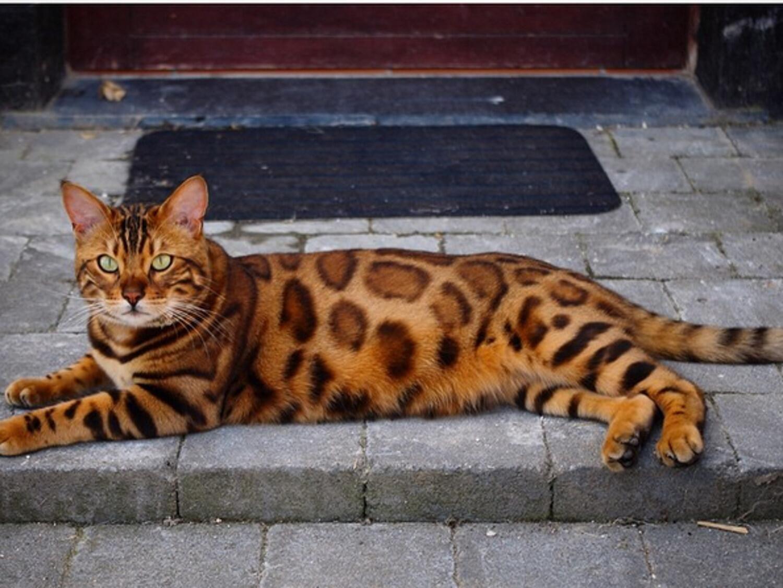 Leoparden Katzen