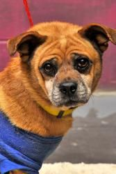 Adopt Queenie On Pug Mix Dogs Pugs