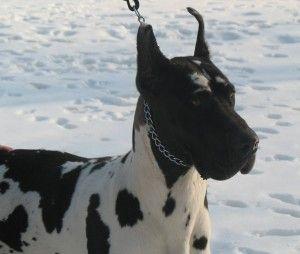 Black Head Harlequin Great Dane Intersting Dog Coat Colors