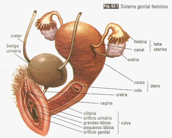 Sistema Genital Feminino Anatomia E Fisiologia Humana