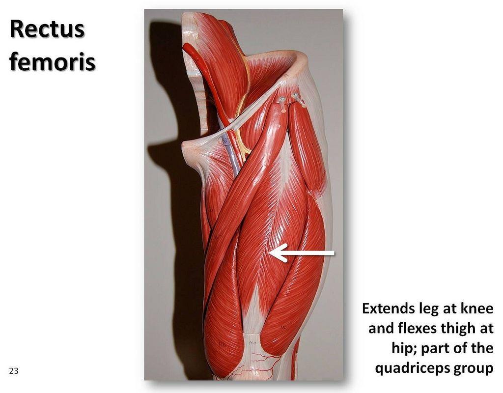 quadriceps muscles diagram - photo #19