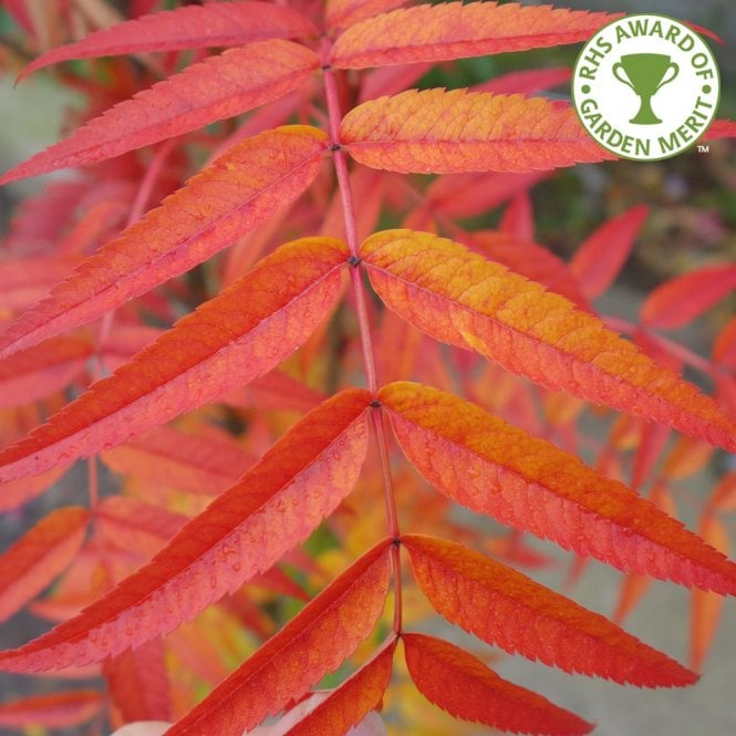 Sorbus commixta 'Olympic Flame' Tree Flame tree, Olympic