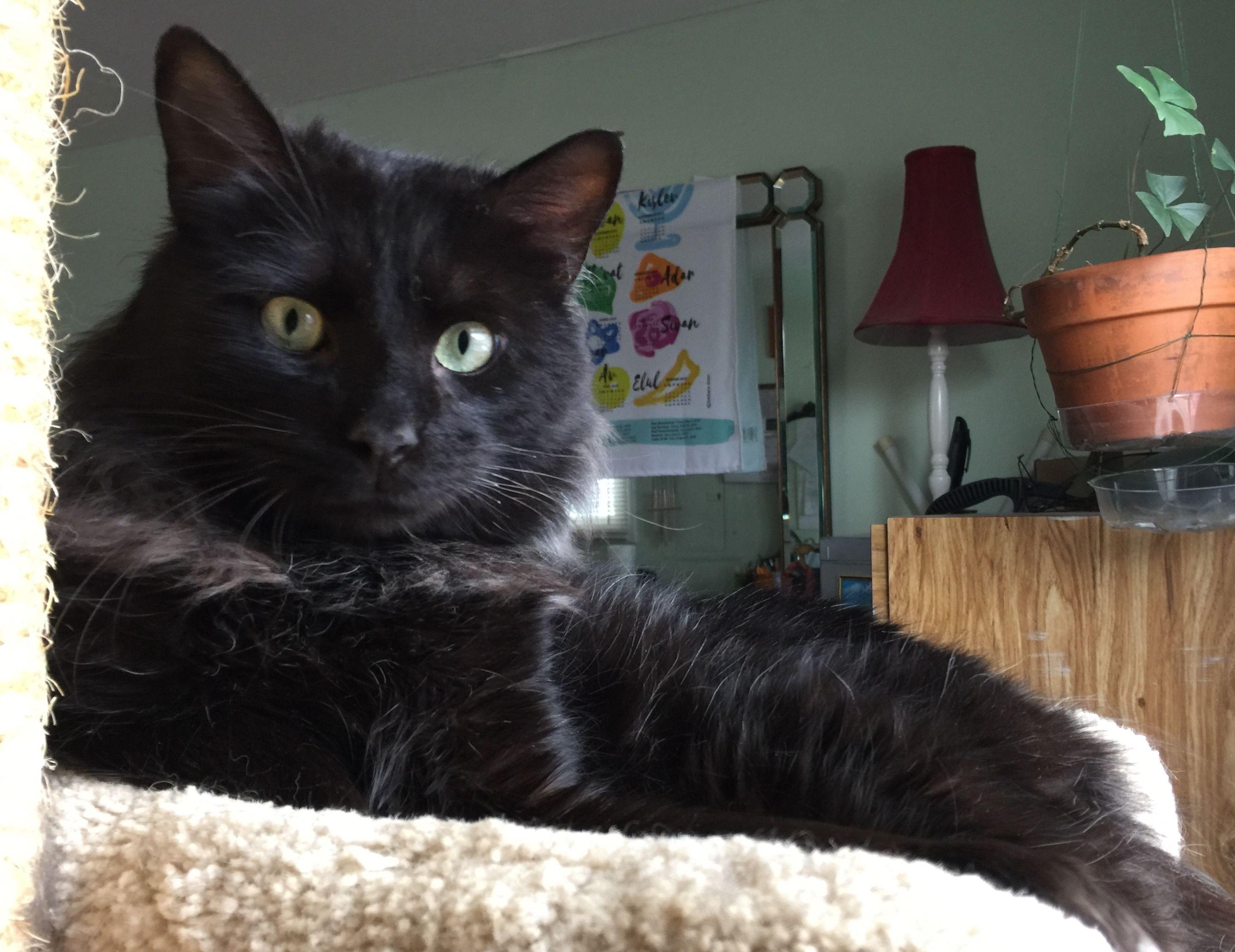 Adopt Captain on Pet adoption, Cat towers, Cats